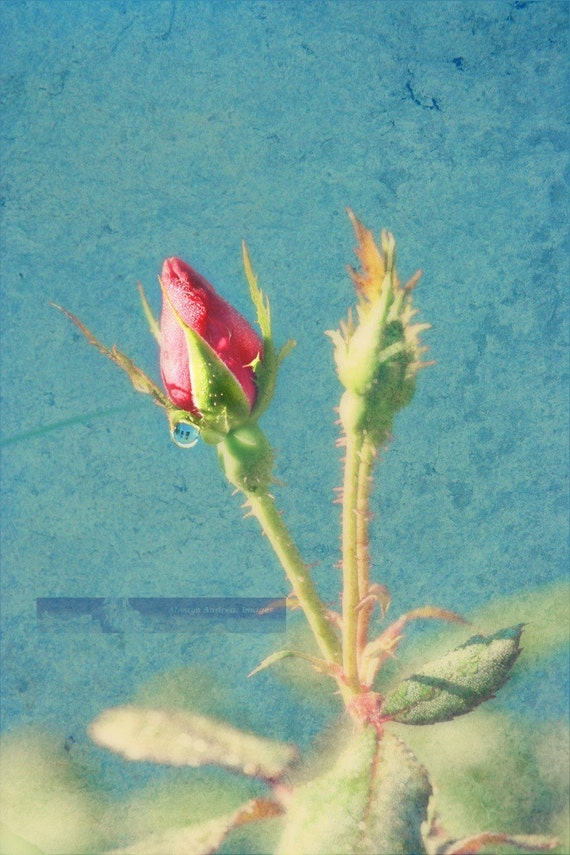SALE// Dewdrops on a Red Rosebud - 5 x 7 Photograph/ Illustration