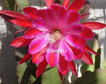 Taking it to the Streets Epiphyllum Orchid Cactus Cutting