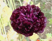 Red Purple, Purple Lavender, Papaver somniferum Poppy 2 Seed Mix