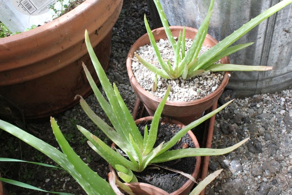 3 Aloe Vera bare root plants beautiful green medicinal foliage SALE for your garden