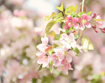 pink apple blossoms-flower photography - flower photo- cottage garden photography (5 x 7 Original fine art photography prints) FREE Shipping