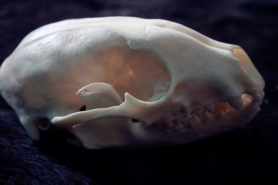 Raccoon Skull Grade B Real Bone Teeth By Desertrosetaxidermy