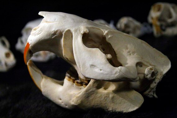 XL Beaver Skull - Rodent, Real Bone, Teeth, Taxidermy - B8 - Grade A