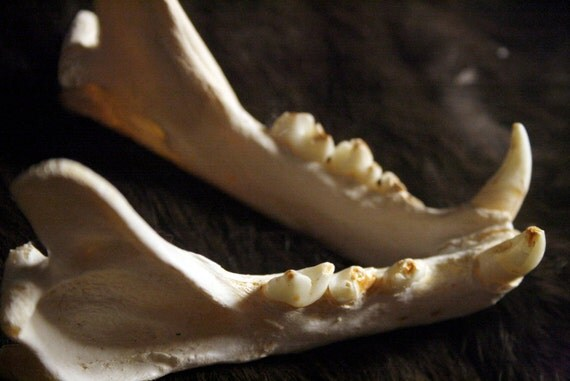 Lynx Jaws - Real Bone, Teeth, Taxidermy, B90 - Grade B