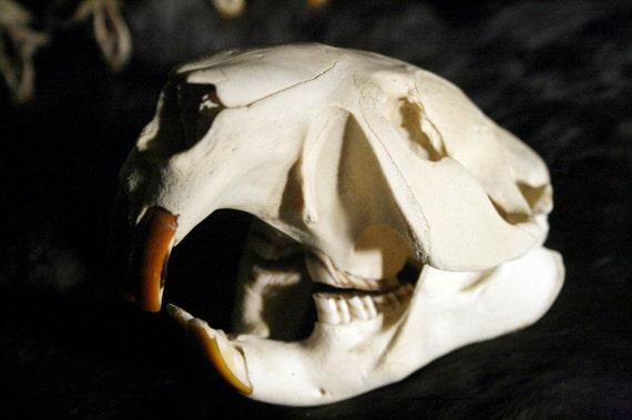 SALE - Large Beaver Skull - Grade A, Rodent, Real Bone, Teeth, Taxidermy, B907