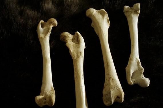SALE - x1 Raccoon Femur - Real Bone, Taxidermy, 91223 - Grade A