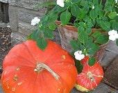 Rouge Vif d'Etempes Pumpkin Seed