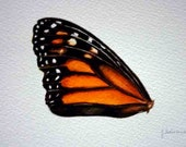 Monarch Butterfly Wing - Original Watercolor - Nightly Study 333