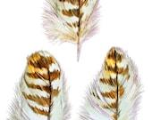 Hawk Feathers Three - Blank Greeting Card