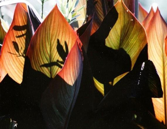 Original Fine Art Silhouette Color Photograph - Autumn Woodland Shadows & Light Canna Leaves - Fall Nature Eco Garden Photo from Slide Film