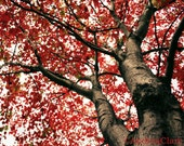 Fall, Nature, Song of a Red Tree, 8x10 Fine Art Photograph, Nature, Leaves, looking up, photo, print, red, bark, fall, autumn,  wall decor,