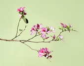 Spring, Flower Photograph, Fuschia, Pastel Lime, Green, Beige, Tan, Mothers Day -  Dreaming of Spring