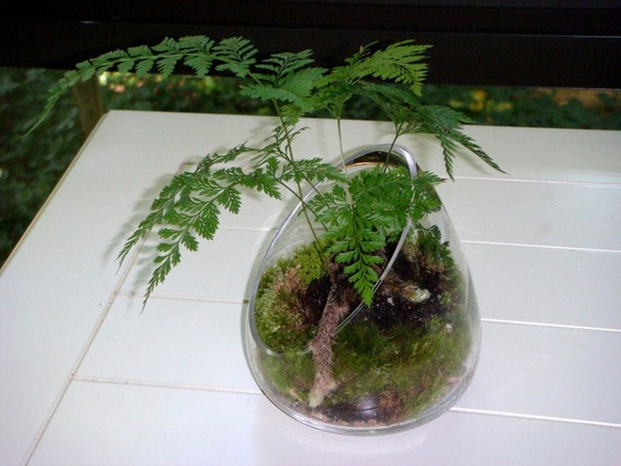 angled vase terrarium rabbits foot fern moss terrariums by. Black Bedroom Furniture Sets. Home Design Ideas