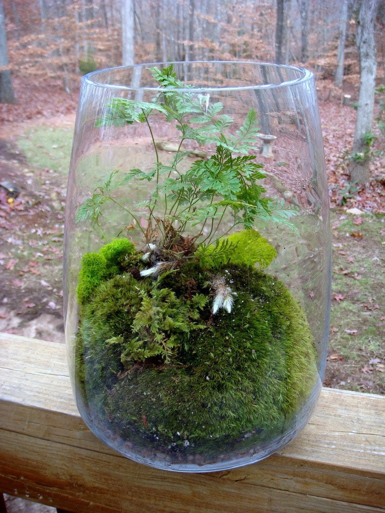 hurricane vase terrarium rabbits foot fern moss terrariums. Black Bedroom Furniture Sets. Home Design Ideas