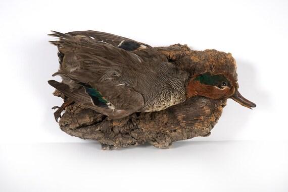 Vintage Taxidermy Duck