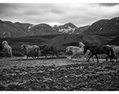 12x8 Icelandic Ponies River Crossing