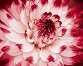 Flower art, Red and white home decor, Dahlia flower art, Art print, Flower photo, Nature wall art, Fine art photography, Botanical print