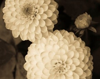 Flower Photography - An Original Signed 8 x 10 sepia toned black and white photograph Triple Dahlia