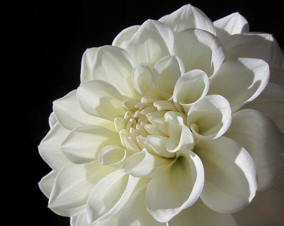 Nature wall art, Fine art photography, Flower wall art, White Dahlia flower, Art print, Botanical print, Flower photo, Wall Decor of nature