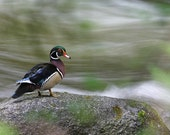 Male wood duck, 11x14 matted print