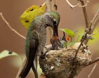 Hummingbird nest Photograph, baby hummingbird, Mothers day art print