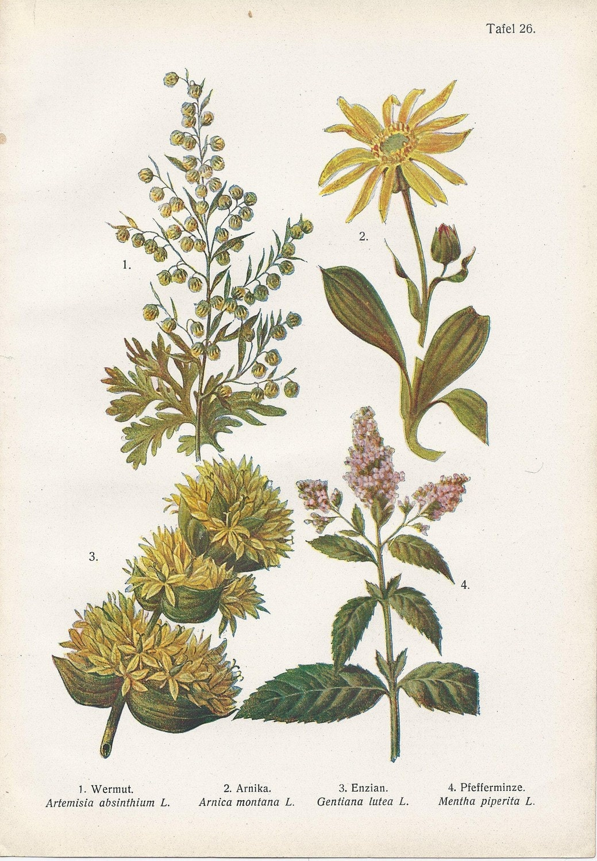Vintage Botanical Illustration 1920s Wormwood Peppermint