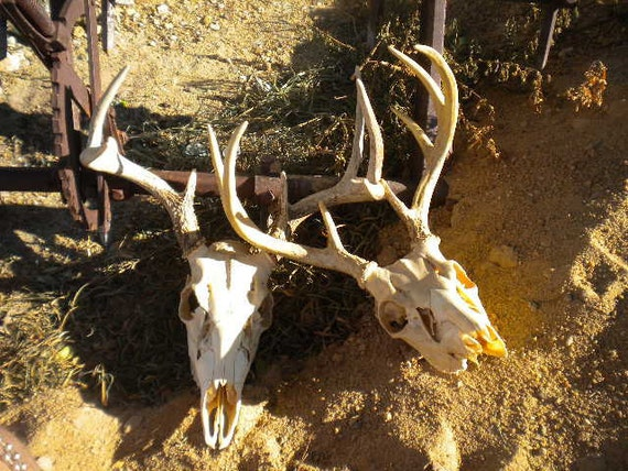Eight Point Deer Antlers Perfect Skull for Collection Gift Arts Crafts Religious Ceremonies