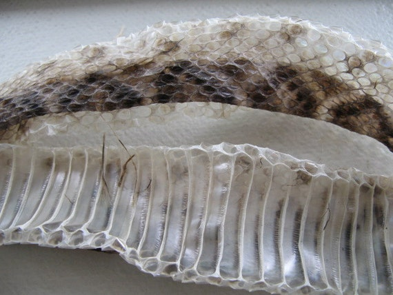 Cruelty Free Snake Shed Rattler 37 Inches Taxidermy Religious Educational Magic Hoodoo Voodoo