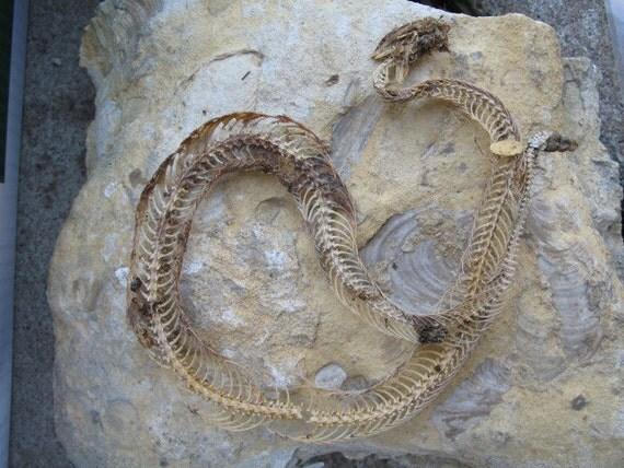 CLEARANCE Cruelty Free Rattler Rattlesnake Skeleton Skull Real Bone Bones Taxidermy Religious Educational Magic Spell Animal Reptile Herp