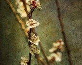 Plum Blossoms : flower spring photography branch vintage japanese apricot chinese plum abstract home decor 8x10 11x14 16x20 20x24 24x30
