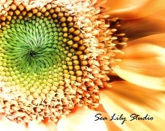 Sunflower : sunflower photo flower photography fibonacci spiral yellow green sunshine garden home decor 8x10 11x14 16x20 20x24 24x30