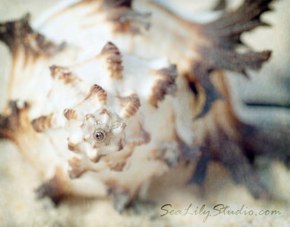 Murex Shell : summer beach sea shell photography endiva spine sand ivory california coastal home decor 8x10 11x14 16x20 20x24 24x30