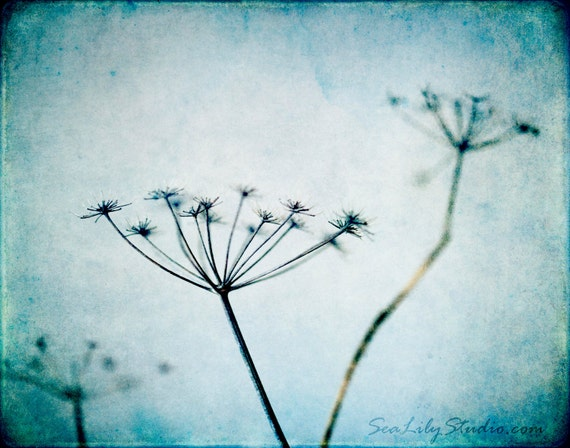 Ladies of the Canyon : vintage flower photography queen annes lace wild carrot teal blue aqua home decor 8x10 11x14 16x20 20x24 24x30