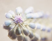 Grape Hyacinth photography, 8x8 nature photography print, square, flower, close-up, pastel, lavender blush, dusty purple, dusk, gift for her