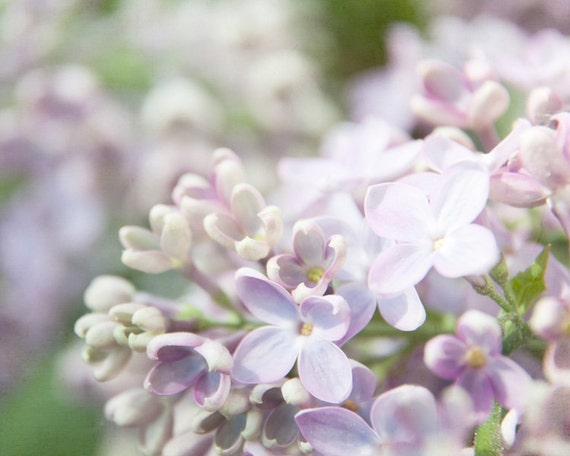 lilacs blooming photography, 11x14 nature photography print, flower, lilac, lavender blush, pink, green, mint, white, wall decor