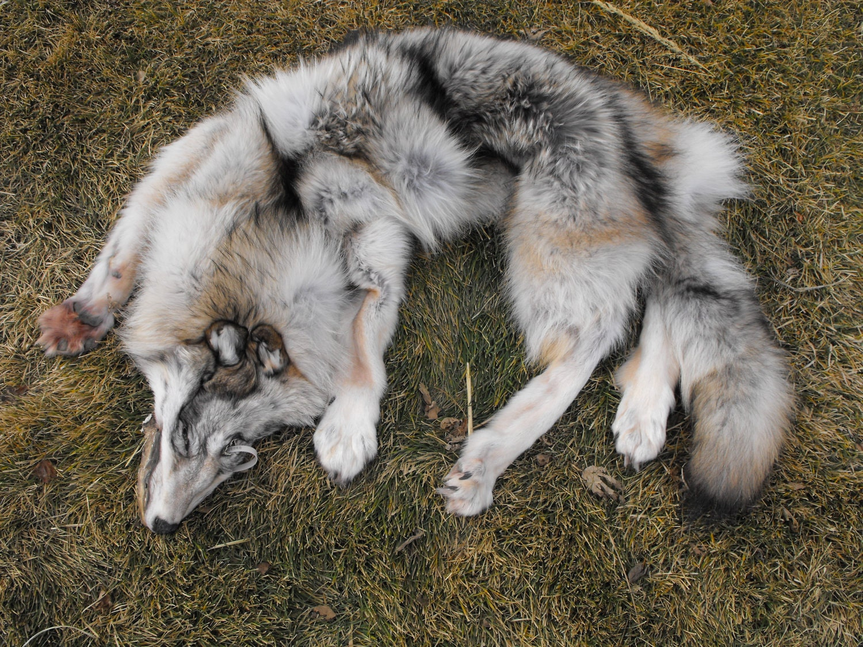 Alaskan Light White Gray Wolf Pelt Taxidermy Quality