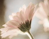 Daisy in sunlight 8x10 Fine Art Photograph