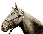 Modern Horse Photography, Horse and Halter Portrait, 8x10 sepia photograph
