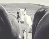 White Draft Horse Photograph, Horse Art, Western Black and White photography