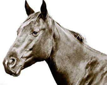 Modern Photograph, Dark Horse on White Background, Striking Beauty, 8x10 Sepia Photograph