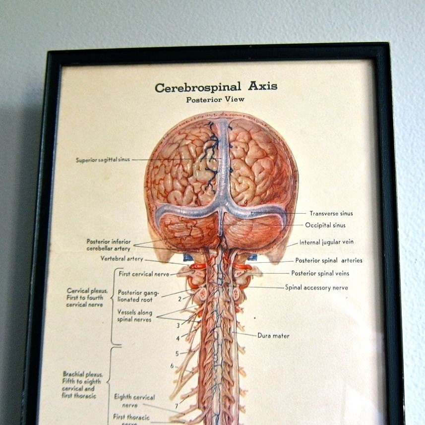 Anatomical Diagram Of The Brain And Spinal Cord Print By Leon