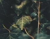 Ivy- Fine Art Photography- Slovakia