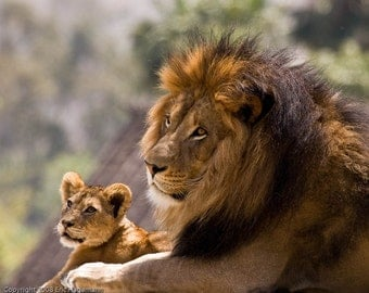 Nature Art, Father and Son Lion, Fine Art Photography, Nature Photography