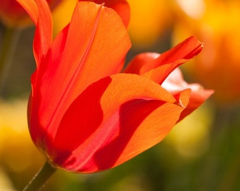 Sunlit Orange Tulip, Nature Photography, Fine Art Photography