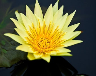 Yellow Water Lily, Fine Art  Photography, Nature, Flower Photography