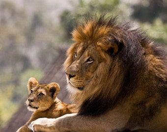 Nature Photography, Male Lion and Cub, Fine Art photography, Nature Art
