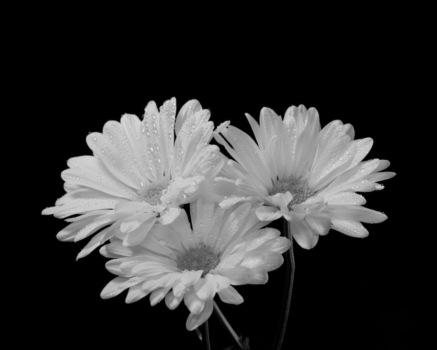 Daisies On Black Fine Art Black and White Photograph Flower