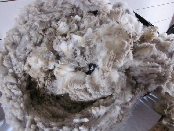 Polypay Suffolks Cross Raw Unwashed Sheep Wool by the pound Fleece Number 704