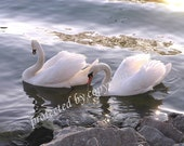 Valentine's gift, Evening Swans, Wedding Anniversary Gift of fine art, home decor, swan, bird lovers, romance, love, bridal, friendship