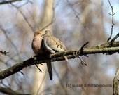 Bird lovers fine art photo,  Courtin' in May, home cottage decor, mourning doves, nature, wildlife